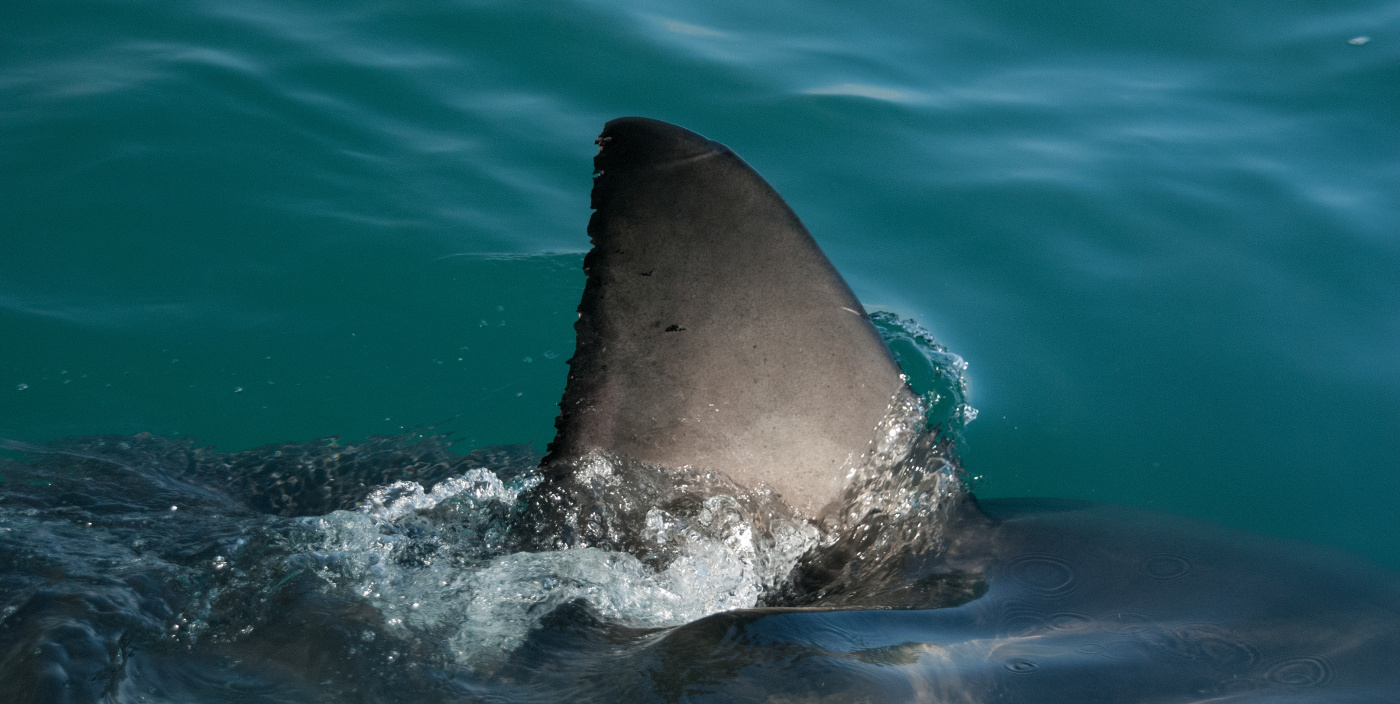 shark finning one of the cruelest things the fishermen do A us ban on shark fins is a bad idea, say researchers a us ban on shark fins is a bad idea, say researchers feisty fish versus the worm of terror one year ago.