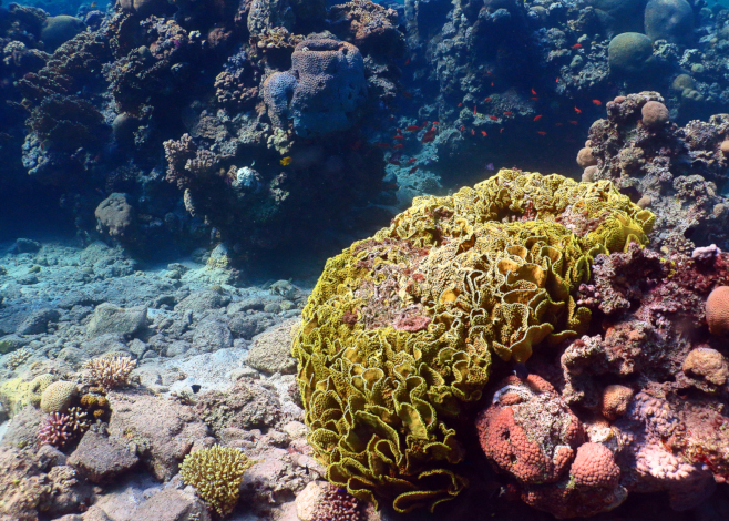 Hard Corals of the Indo-Pacific