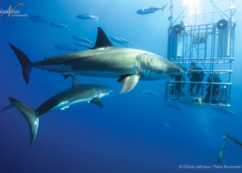 great whites in Guadalupe
